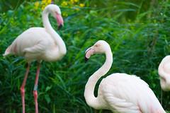 Greater Flamingo At London Zoo
