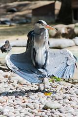 Grey Heron Visiting the Penguins at London Zoo