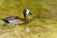 White-Faced Tree Duck At London Zoo