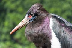 Abdim's stork At London Zoo