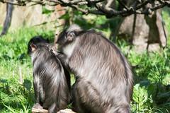 White Naped Mangabey At London Zoo