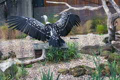 Ruppell's Griffon Vulture At London Zoo