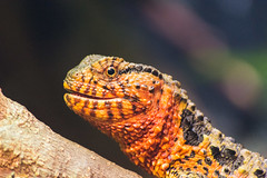 Chinese Crocodile Lizard At London Zoo