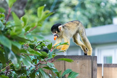 Squirrel Monkey At London Zoo