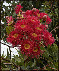 Red GUM flower for NEW YEAR 2020-2=