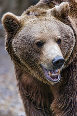Brown bear with mouth a bit open