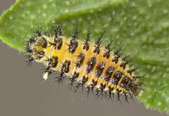 Henosepilachna argus larva