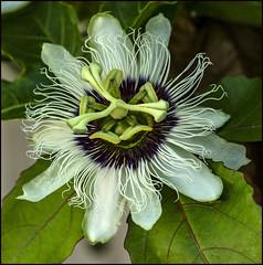 Passionfruit Flower-2