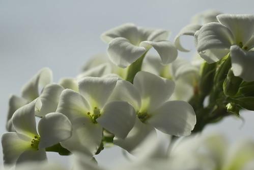 White Kalanchoe