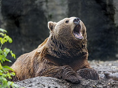 Brown bear with big open mouth
