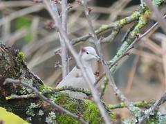Tourterelle, turtle dove