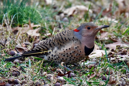 Female Northern Flicker (Yellow shafted)