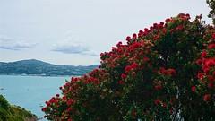 Pōhutukawa on Mātiu/Somes Island