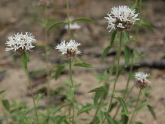 pale mountain mint, Monardella odoratissima subsp. pallida