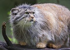 Pallas cat on the log