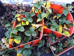 Strawberry Plants in Winter
