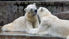 Kissing polar bears