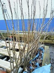 Pruned Blackcurrant Bushes