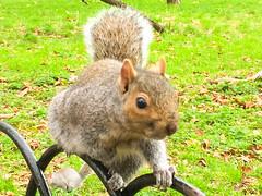 Grey squirrel, Hyde Park, London, England
