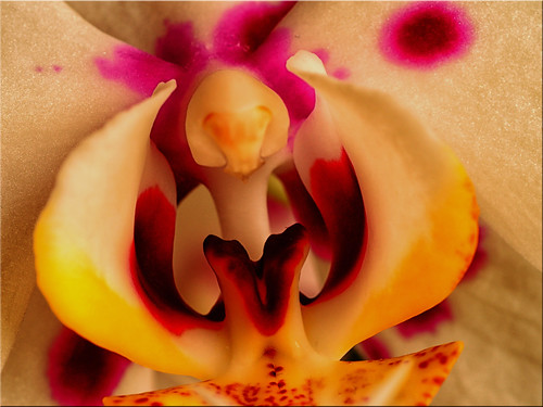 Macro shot of an orchid flower