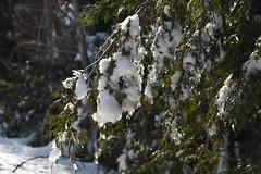 Winter forest scenery Drummond Island