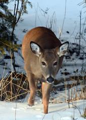 Deer on Drummond Island