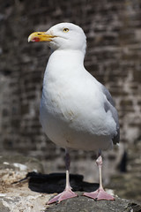 Conwy seagull