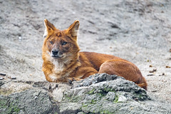 Dhole posing on the rock