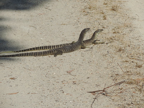 Bungarra, hanging about with it's mate.