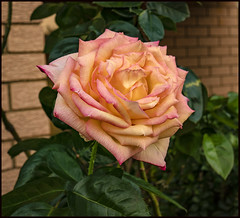 PEACE Rose has bloomed-1=