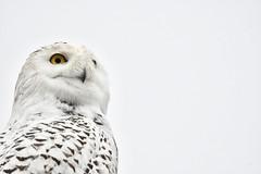SNOWY OWL. JANUARY 11 2020, ACA PHOTO