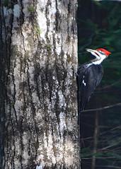 Pileated Woodpecker on Drummond Island