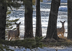 Deer by the water on Drummond Island