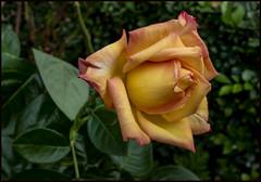 My 2020 Peace Rose-1=