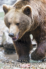 The brown bear walking