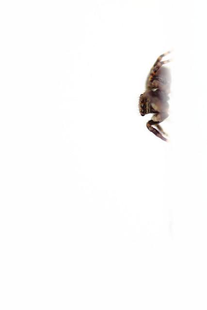 Une sauteuse dans la cuisine - Pseudeuophrys erratica