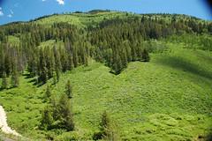 Conifer forest (Freeman Ridge, Preuss Range, Idaho, USA) 3