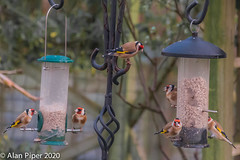 Party of Goldfinches