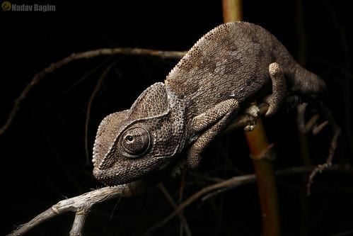 Tiny Dinosaur chameleon
