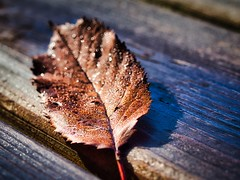Herbstblatt - Autumn leaf