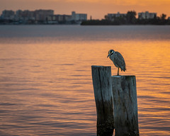 Yellow-Crowned Night Heron at Sunset -- Dunedin, FL