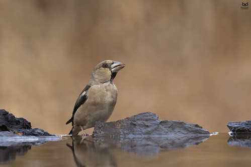 Bico-grossudo, Hawfinch (Coccothraustes coccothraustes)