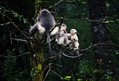 Black Snub-nosed Monkeys