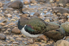 Lapwing Roosting