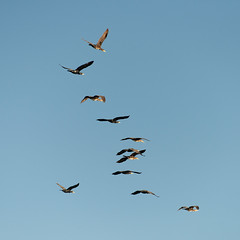 Flock of Cormorants