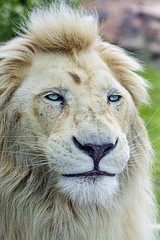 White lion with puffy face
