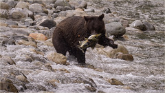 grizzly success and flying salmon roe