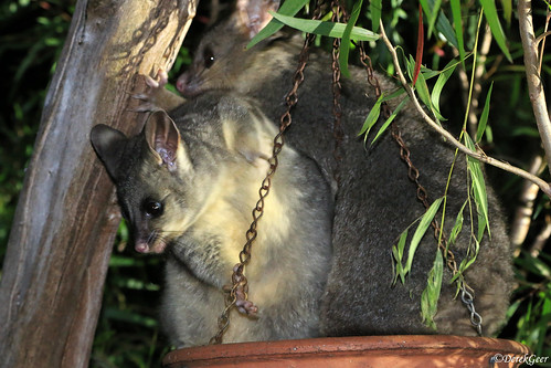How many Possums can you fit in a bird feeder.