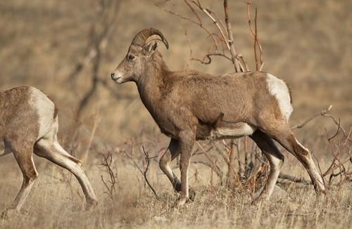 Bighorn Sheep 59