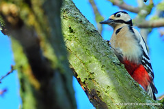 Great spotted Woodpecker:
